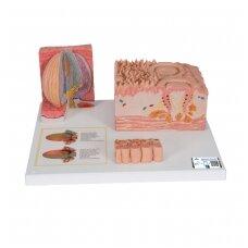 """3B """"MICROanatomy™"""" žmogaus liežuvio modelis"""