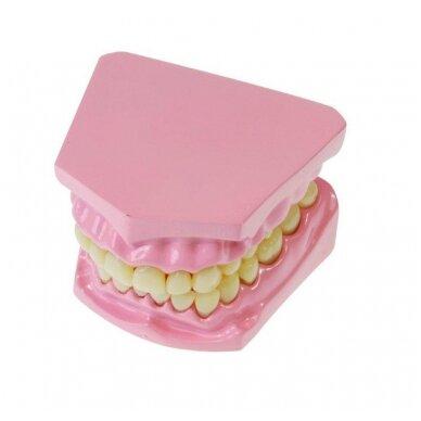 Anatominių dantų rinkinys 4
