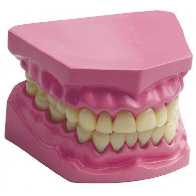 Anatominių dantų rinkinys 5