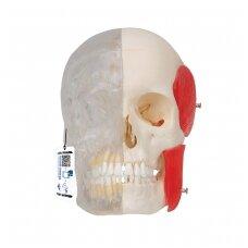 """""""BONElike™"""" žmogaus kaukolės modelis, pusiau skaidrus ir pusiau kaulinis, 8 dalys"""