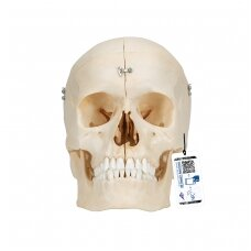 """""""BONElike™"""" žmogauskaukolės kaulų modelis, 6 dalys"""