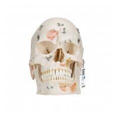 Deluxe odontologinis kaukolės modelis, 10 dalių