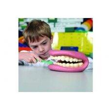 Didelis dantų demonstracinis modelis