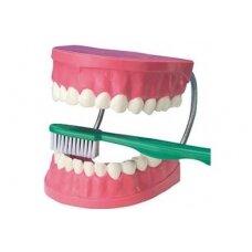 Didelis dantų priežiūros demonstracinis rinkinys
