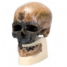Homo Sapiens kaukolė (Cro-Magnon)