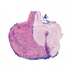 IV serija.Hormonų organai ir hormoninė funkcija - mikroskopiniai preparatai
