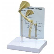 Katės alkūnės-pečių kaulų modelis