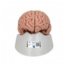 Klasikinis žmogaus smegenų modelis, 5 dalys