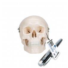 Mini žmogaus kaukolės modelis, 3 dalys