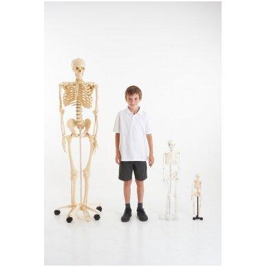Mini skeletas - 460 mm 4