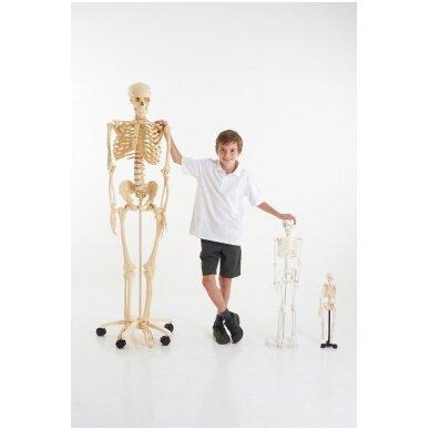 Mini skeletas - 460 mm 5