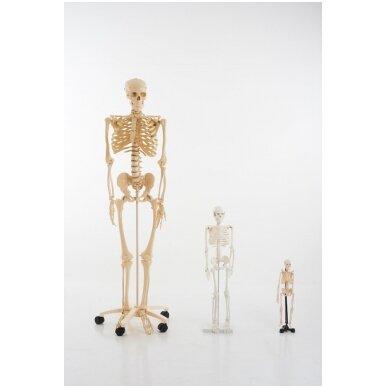 Mini skeletas - 460 mm 6