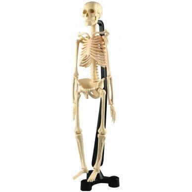 Mini skeletas - 460 mm 7