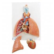 Plaučių modelis su gerklomis, 5 dalys