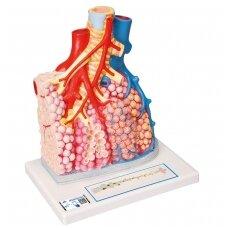Plaučių pusių su kraujagyslėmis modelis, padidintas 130 kartų