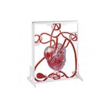Širdies kraujotakos modelis