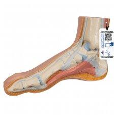 Sveikos pėdos modelis