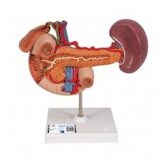 Viršutinio pilvo užpakalinių organų realaus dydžio modelis