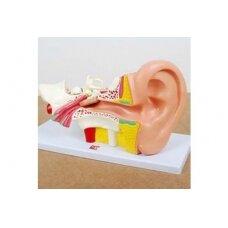 Žmogaus ausis (4x didesnė negu natūralus dydis)