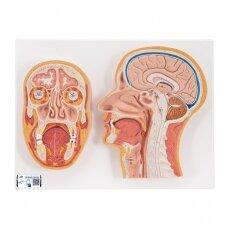Žmogaus galvos vidurinis ir priekinis pjūviai