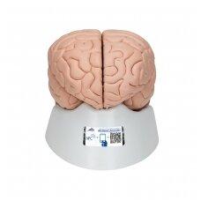 Žmogaus smegenų modelis, 8 dalys